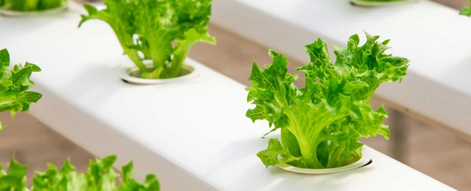 Growing salad with Hydroponics and MARPHYL Marine Phytoplankton