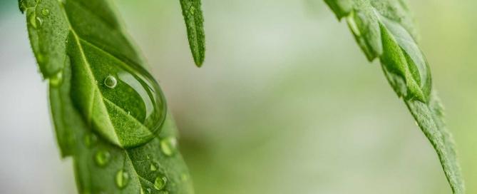 Organic fertilizer soil enhancer for cannabis marphyl marine phytoplankton