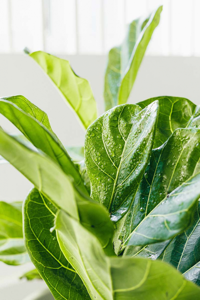 fiddle_leaf_fig_tree_care_tips_by_marphyl_phytoplankton_03