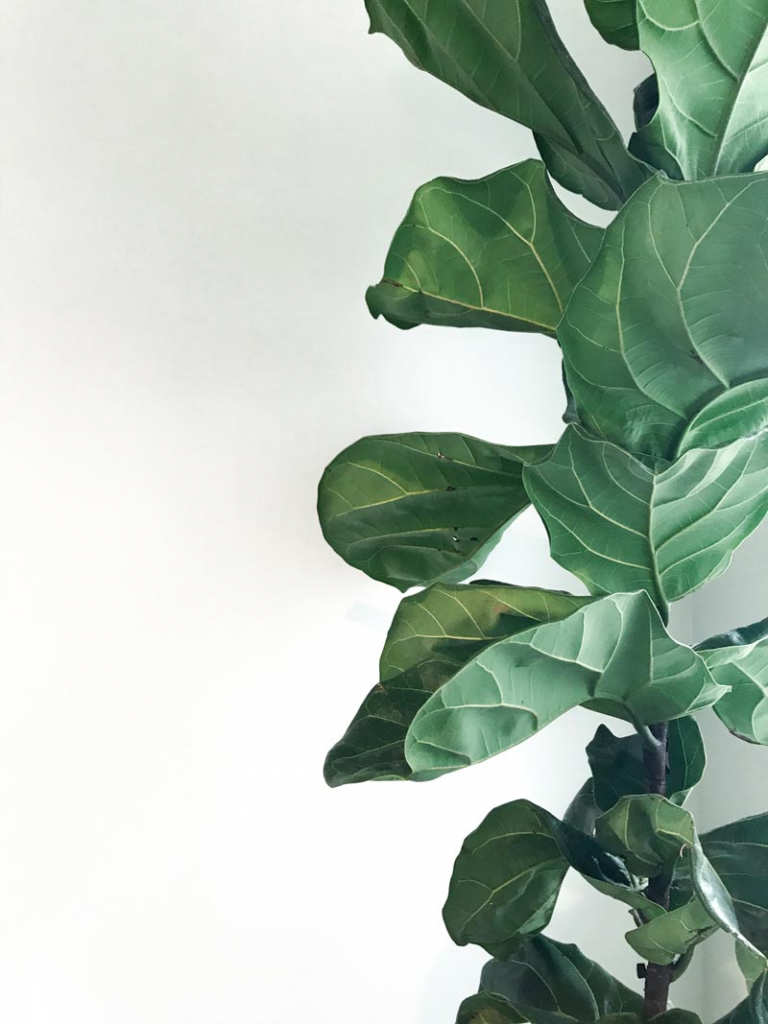 fiddle_leaf_fig_tree_care_tips_by_marphyl_phytoplankton_04