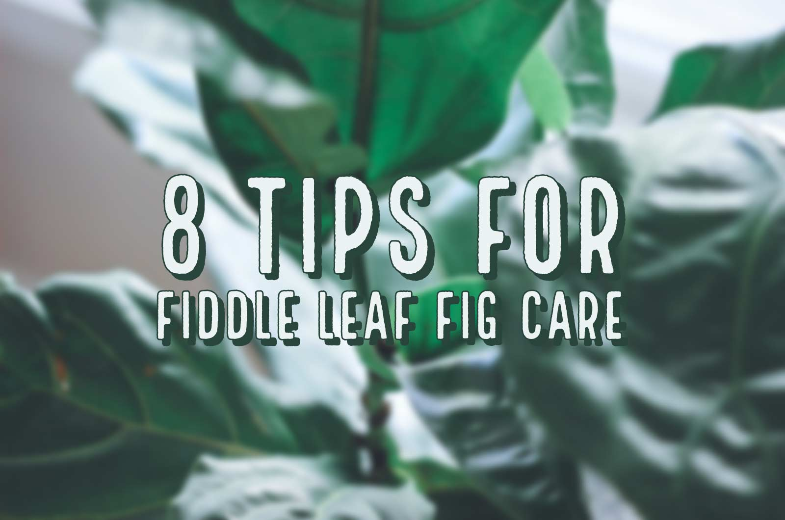 fiddle_leaf_fig_tree_care_tips_by_marphyl_phytoplankton_main