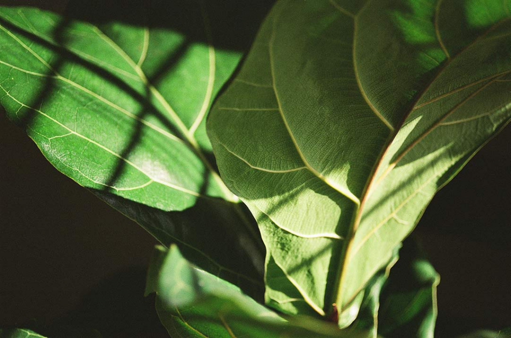 fiddle_leaf_fig_tree_care_tips_by_marphyl_phytoplankton_02