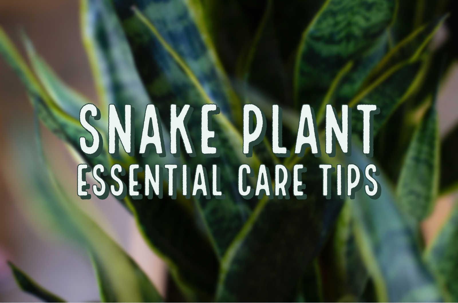MARPHYL_snake_plant_care_tips